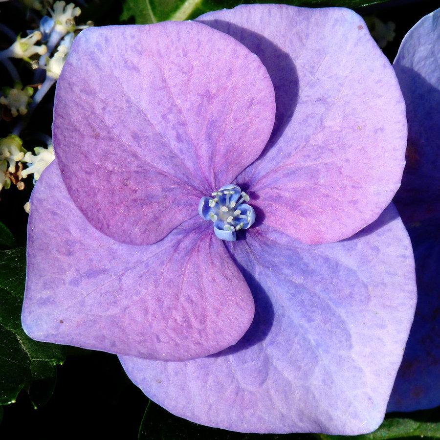 Розовый цветок 5 лепестков название
