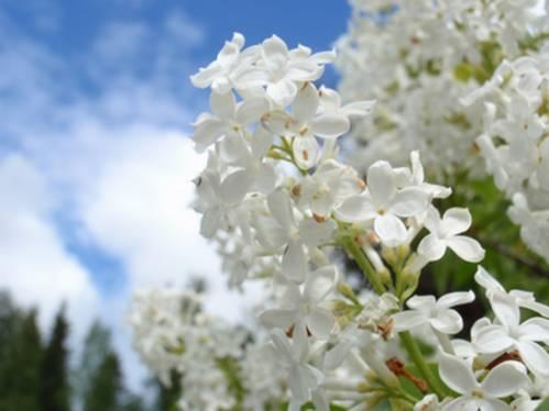 Фото цветы белая сирень на фоне неба