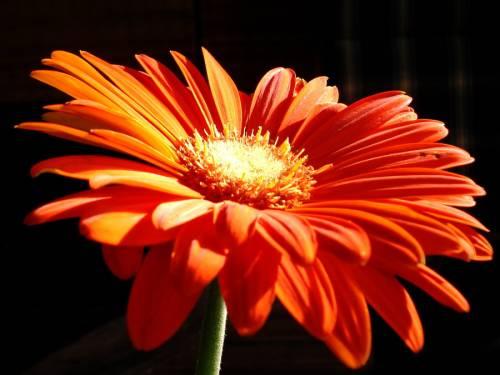 яркий оранжевый цветок - Цветы ...: galereika.org/photo/krasivye_kartinki/cvety/jarkij_oranzhevyj...